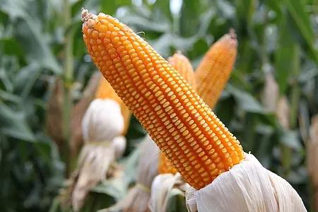 """用人民的名义算算""""过剩的玉米""""去哪了"""
