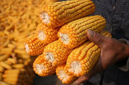 东北调研随笔:玉米与大豆的博弈