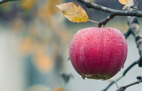 五十年不遇的天灾:损失有多大?苹果产业的前途在哪里?