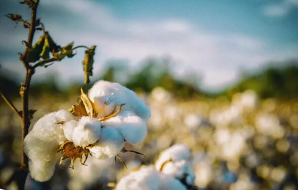 付爱民:棉花行情不同于苹果,不在天气而在库存