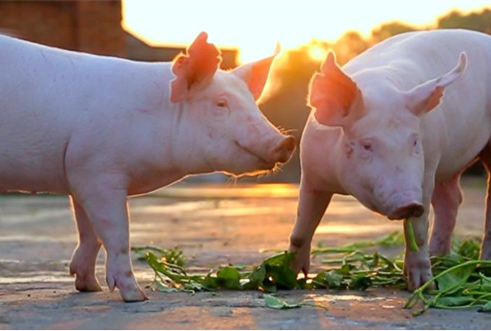 争议猪周期:母猪存栏10年新低,是否是周期底部