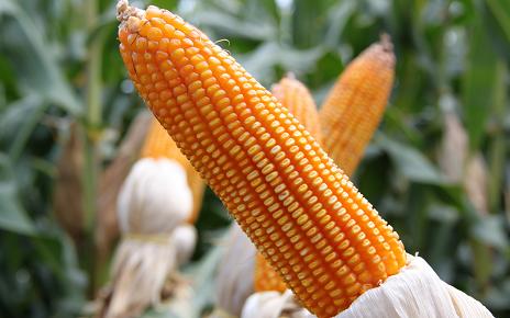 渴!渴!渴!东北玉米大豆遭遇大面积干旱