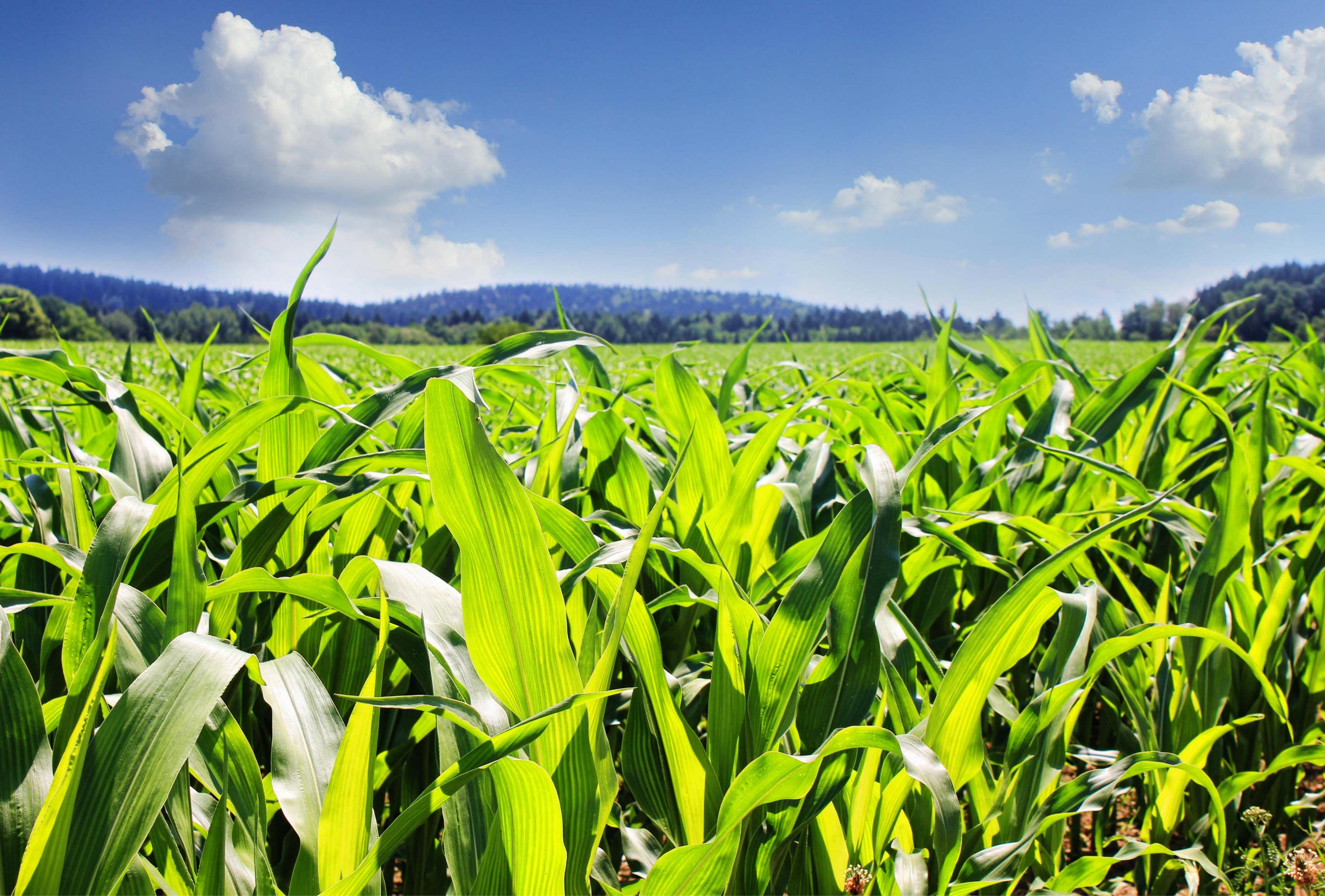 """新季玉米产量和价格像""""蒙着面纱的新娘"""""""