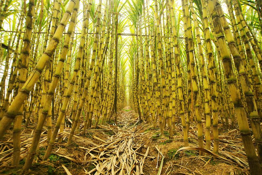 """强台风""""山竹""""绕行甘蔗主产区 难改糖市过剩格局"""