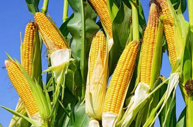 喜鹊资产周俊:玉米将成为2019年明星多头标的
