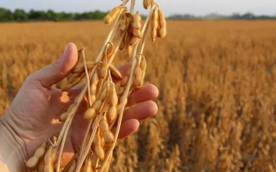 大豆进口量下降13%,国产大豆自食其力的底气何在
