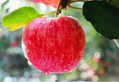消费旺季前现货挺价 苹果价格仍有上涨空间