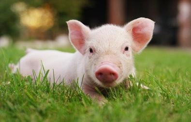 明年猪价有望继续抬升,有那些交易可选?