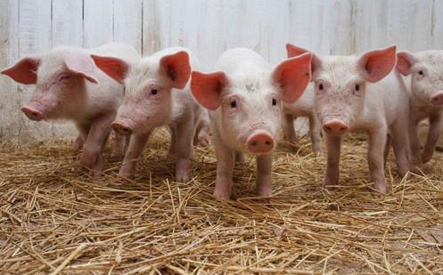 猪年生猪价格飞涨 投资者押注市场供应紧张