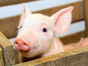 猪周期开启,如何影响通胀?