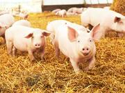 猪价那些事——对通胀影响七问七答