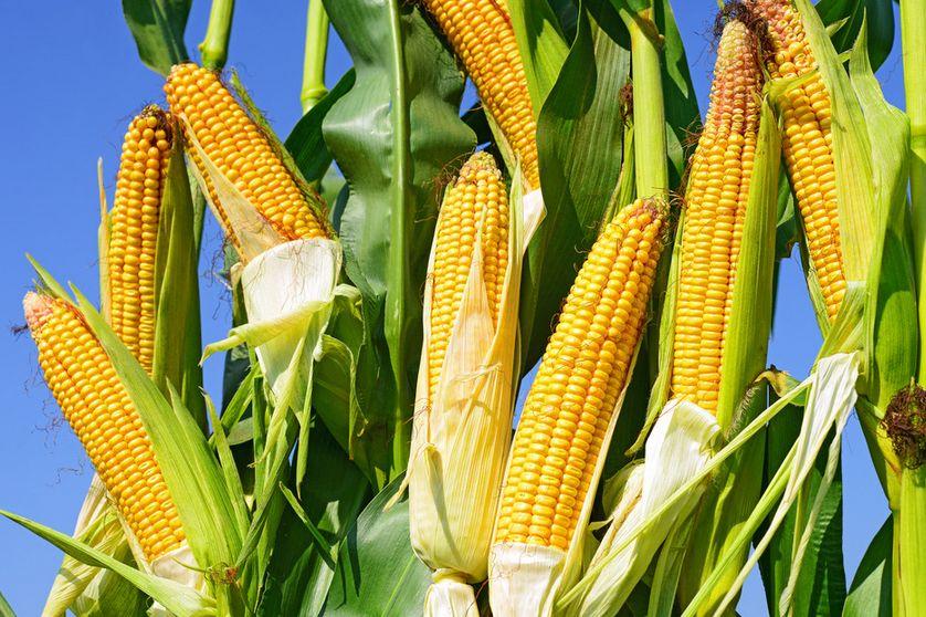 19年玉米面积或大减?进口高峰期即将来临?
