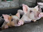 海通:进口量不及需求缺口 猪肉价格上涨仍有空间