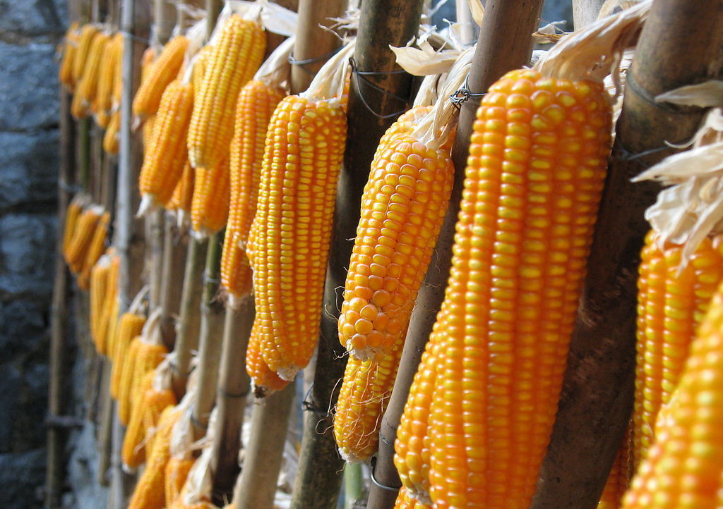 非洲猪瘟对玉米需求影响或小于预期 供需缺口恐加大
