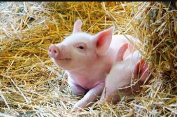 猪价节奏是确认超级猪周期的关键因素