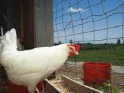 粮食价格飙升!美国养鸡成本激增,中国饲料也扛不住了