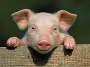 非洲猪瘟快速蔓延 越南已扑杀170万头病猪