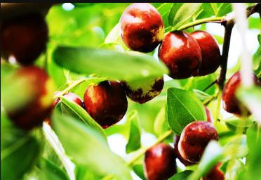 坐果晚于往年  天气因素能持久推涨红枣吗