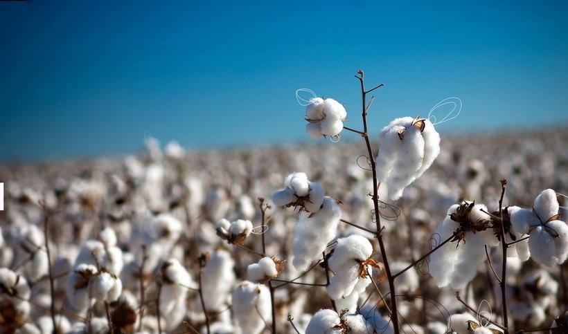 中国棉花协会:全国棉花播种基本完成 长势欠佳