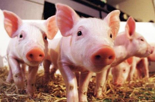 国务院确定猪肉保供稳价措施
