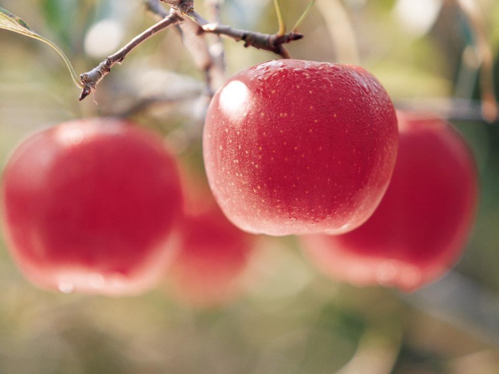 主产地大丰收 苹果期货主力合约应声跌停