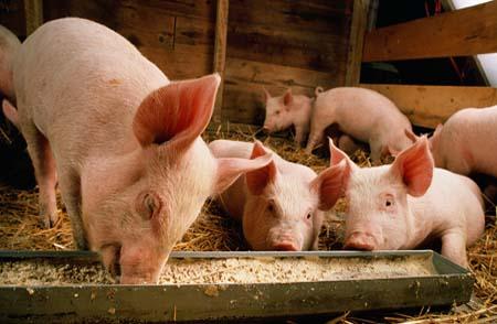 两部门出台六举措鼓励生猪生产 ,提高生猪保险保额