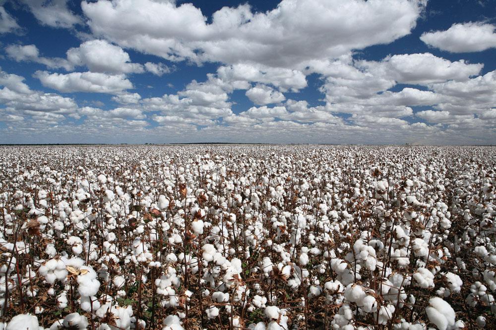 棉花行业必读:抛储价位会是多少?长效机制如何建立?