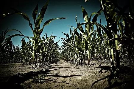 2017玉米种植意向降10.9%,种子售价下降约3.75%!