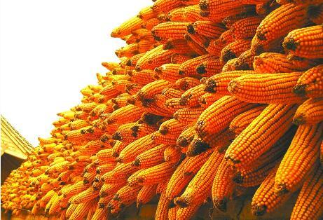 玉米人必看!中国玉米种植分布及面积(精细到县级)
