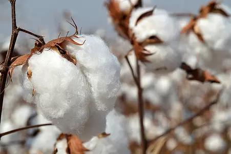 调研报告:棉花将在15500元/吨上下波动1000-1500元