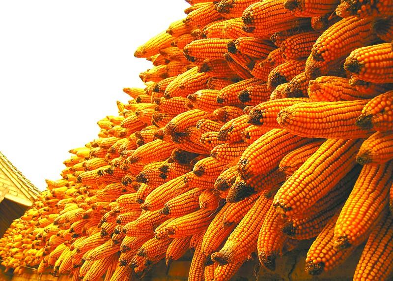 2.4亿吨玉米库存压顶 市场反而看涨热情高涨