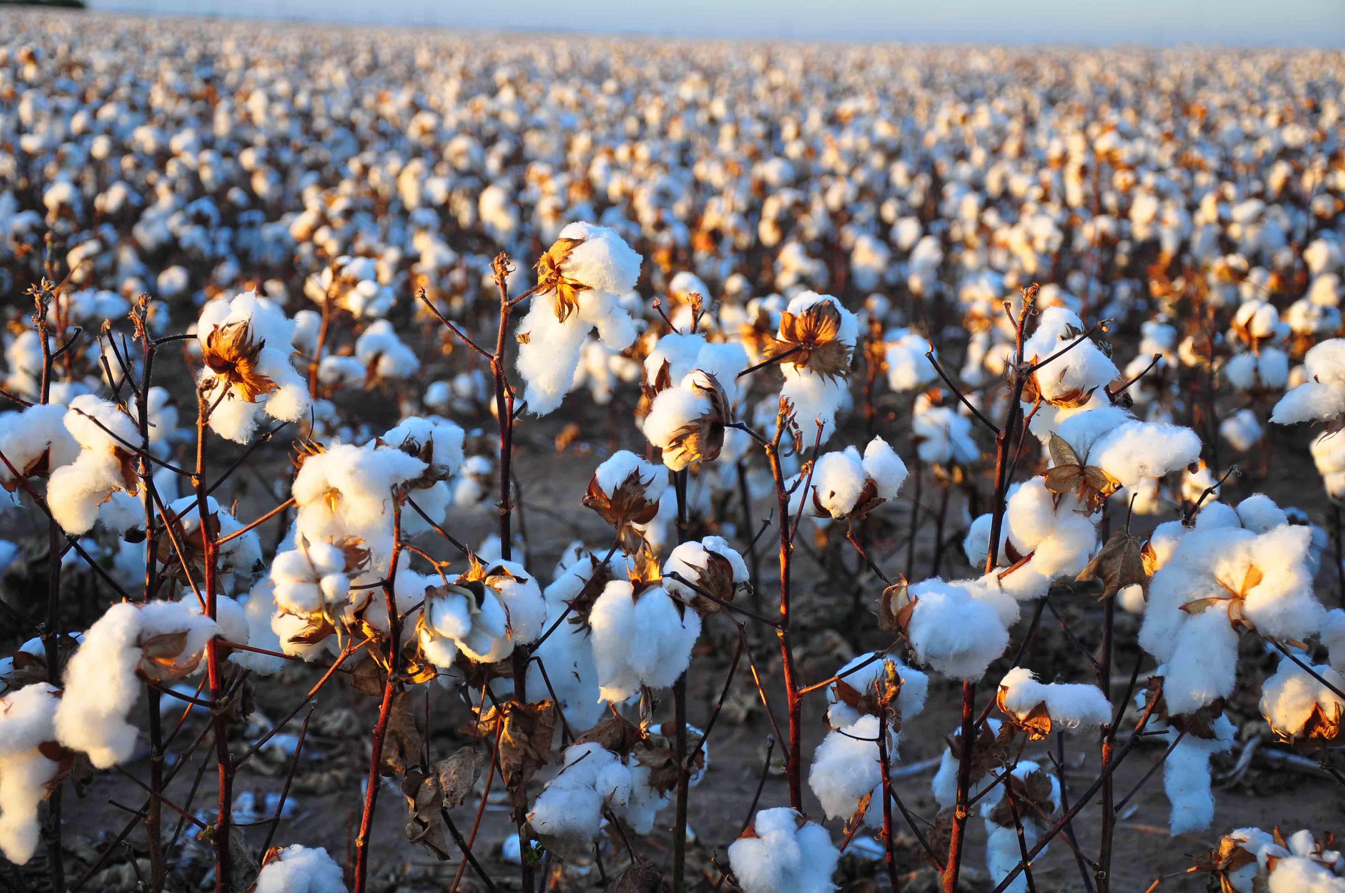 棉花 四季度或先抑后扬