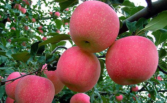苹果期货交易手册:产业链特征、供需分析和交割规则