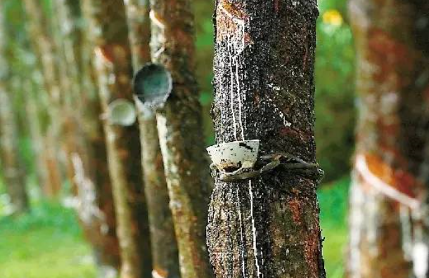 暴雨冲高?——从天然橡胶的农产品属性说起